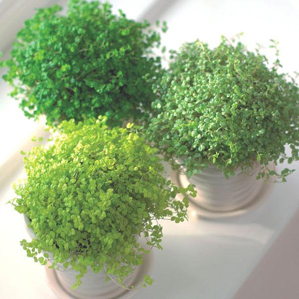 Soleirolia soleiroliii variegata