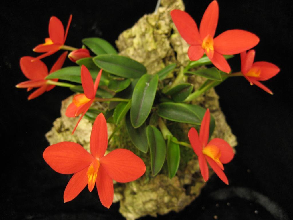 Sophronitis acuensis