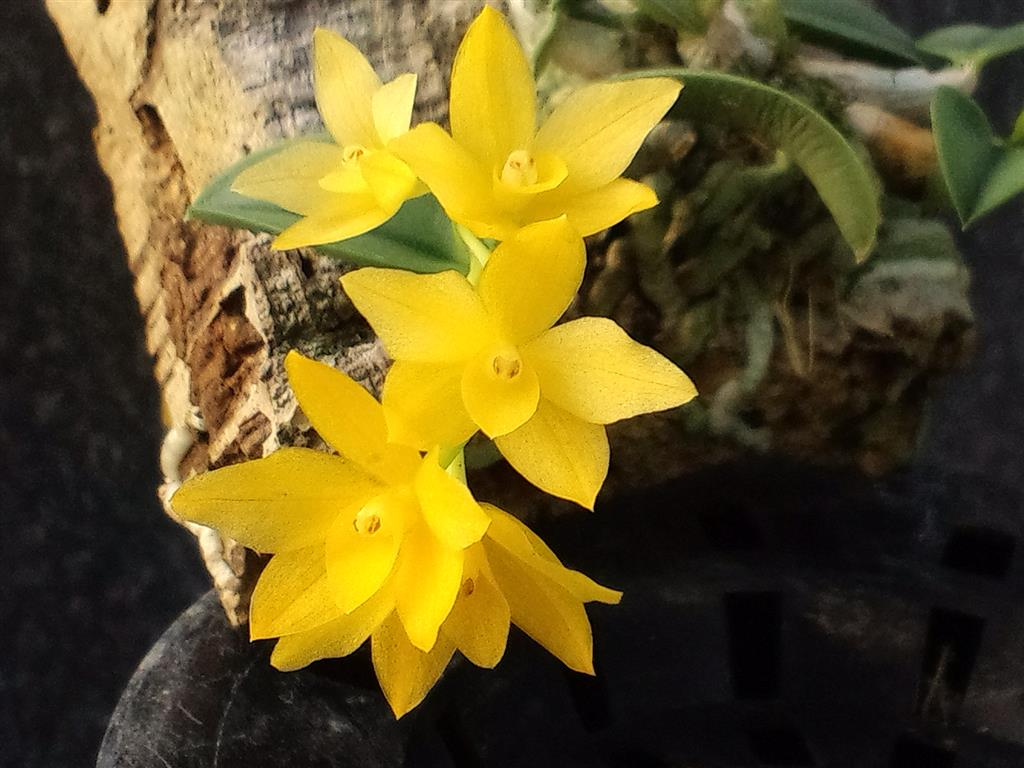 Sophronitis amarela