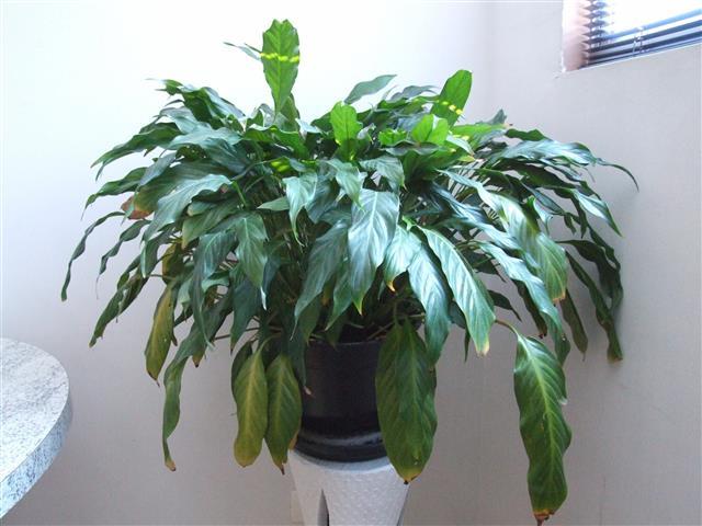 Spathiphyllum_wallisii2