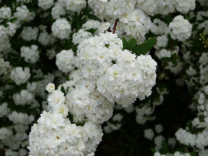 Spirea cantoniensis