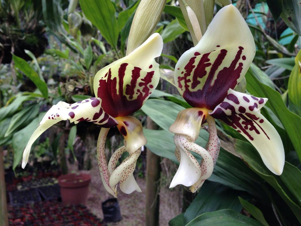 Stanhopea Assidensis