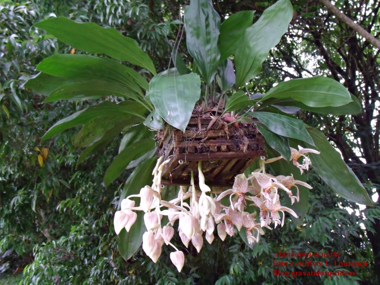 Stanhopea oculata