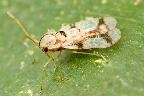 Stephanitis pyrioides