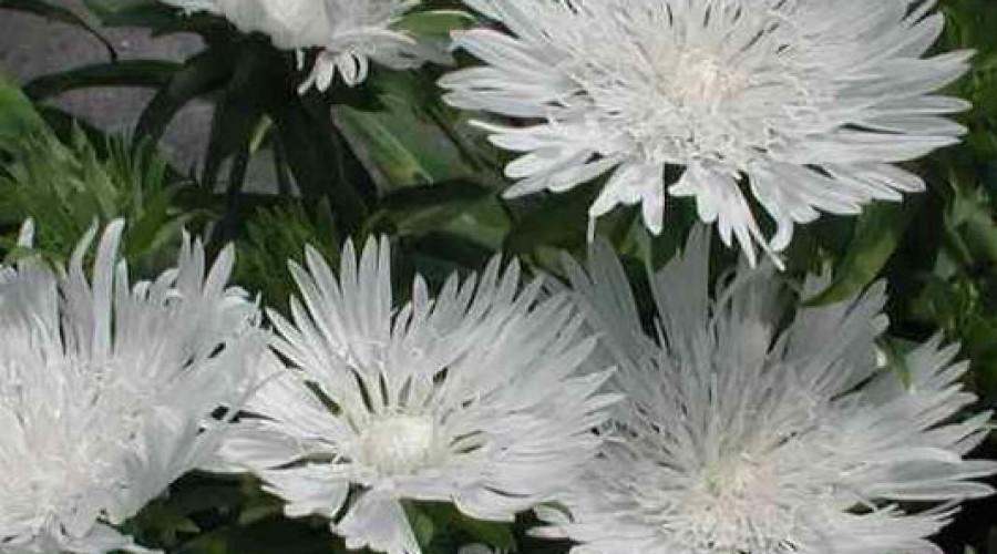 Stokesia-Laevis- branca