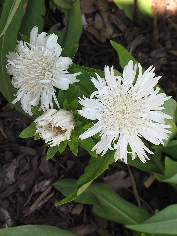 Stokesia Laevis alba