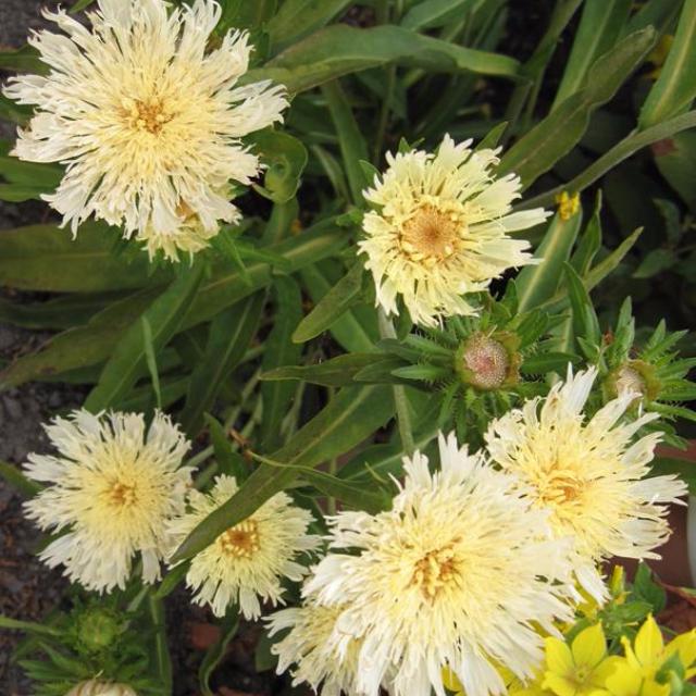 Stokesia-Laevis-amarela