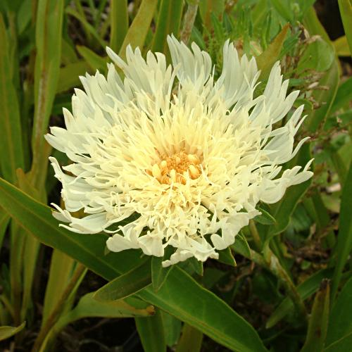 Stokesia laevis yellow'