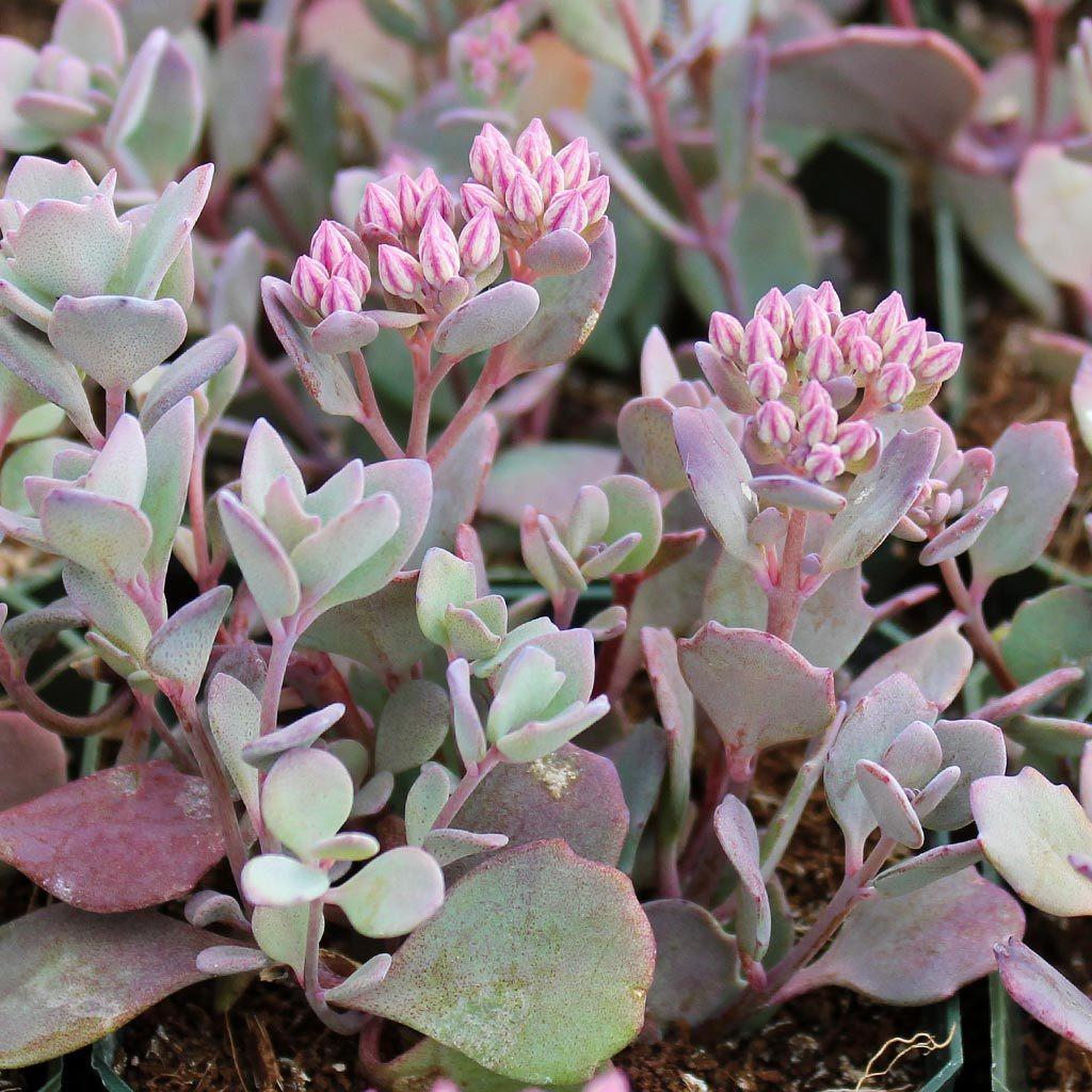 Stonecrop penhasco ( Sedum cauticola )