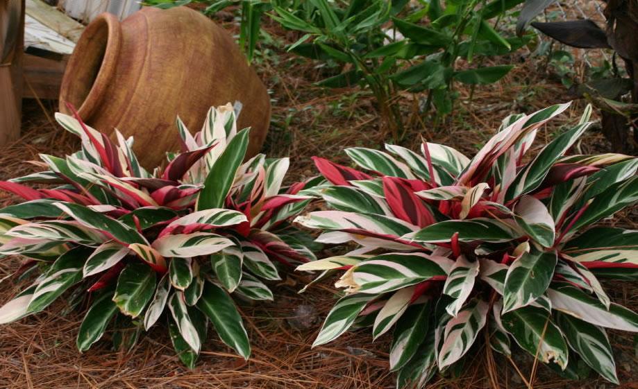 Stromanthe-sanguinea