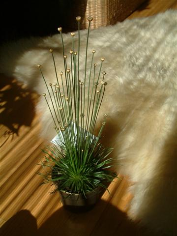 Syngonanthus chrysanthus Mikado (Small)
