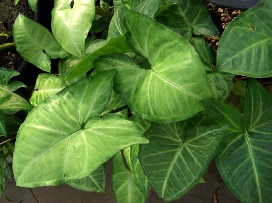 Syngonium.podophyllum