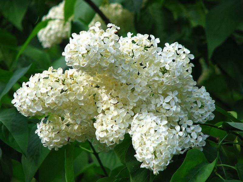 (Syringa vulgaris