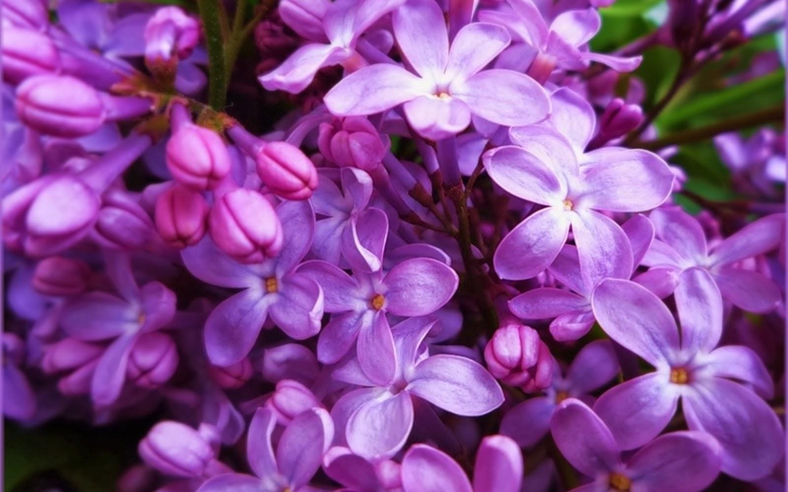 (Syringa vulgaris 7