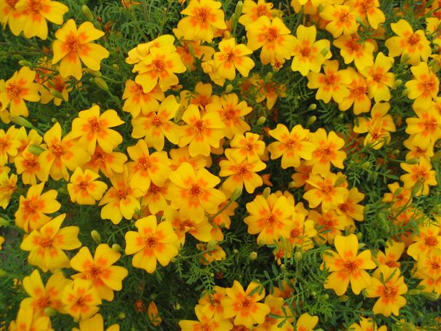 Tagetes_tenuifolia