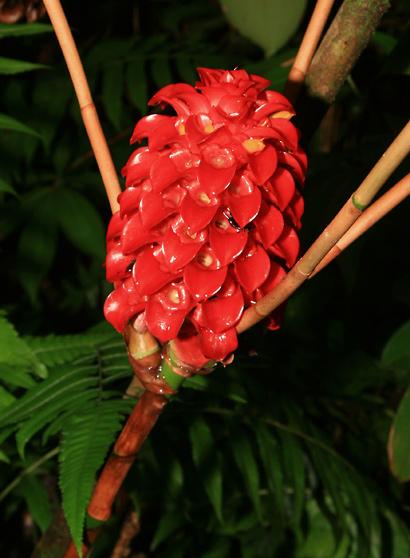 Tapeinochilos-ananassae-1