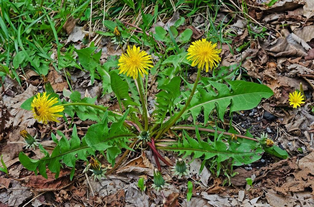Taraxum officinalis
