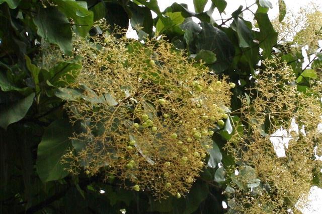 Tectona grandis - frutos