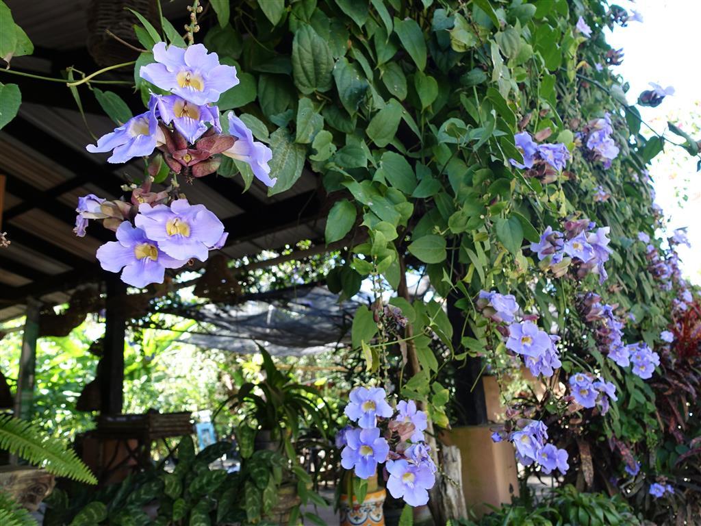 Thunbergia grandiflora Roxb