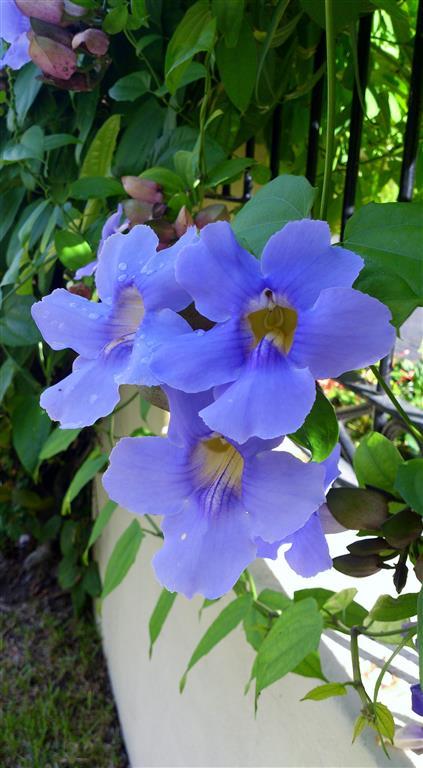 Thunbergia grandiflora Roxb_Y