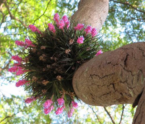 Tillandsia em árvore