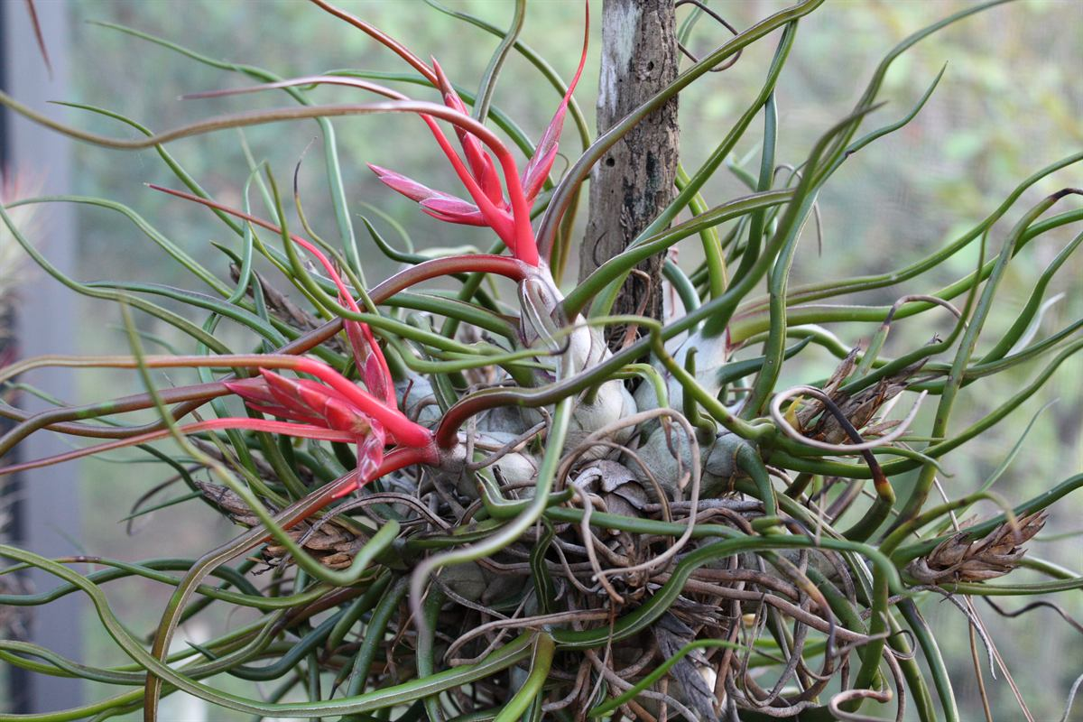 Tillandsia_bulbosa