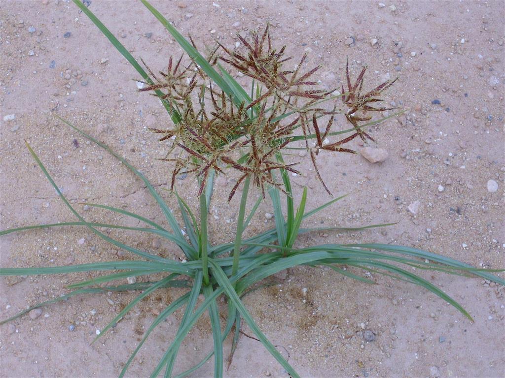 Tiririca (Cyperus rotundus)