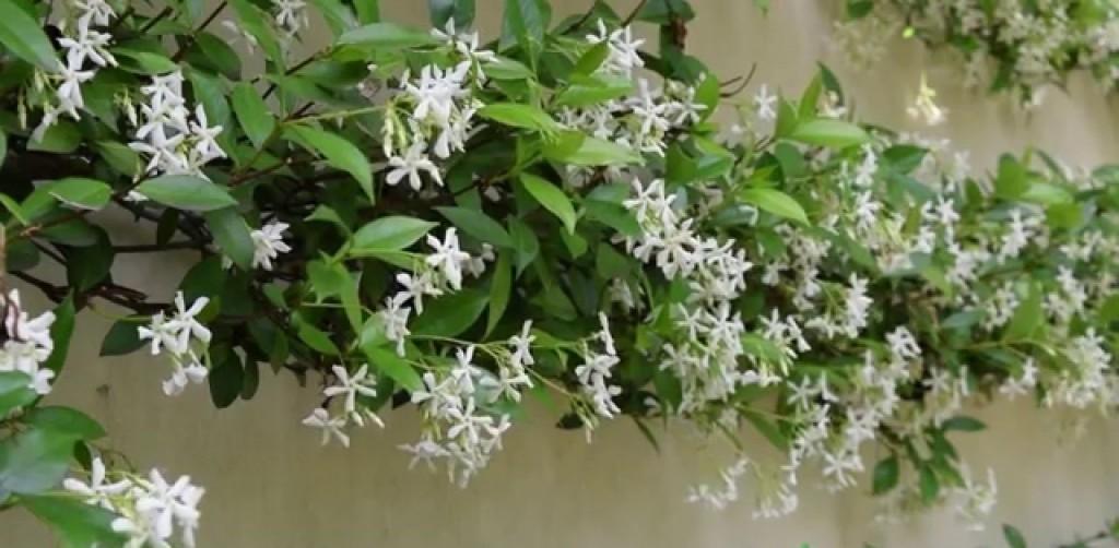 Trachelospermum jasminoides-1