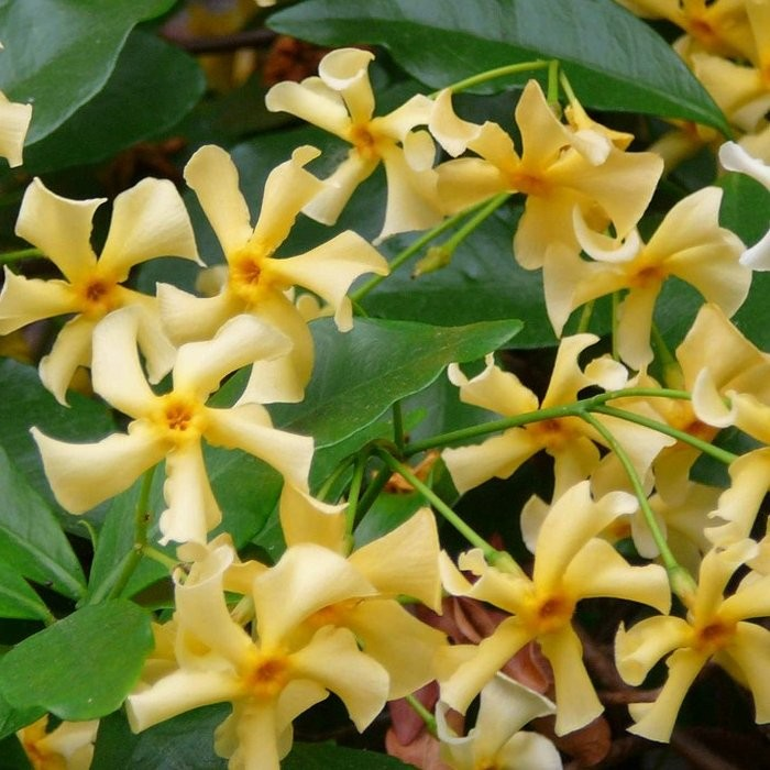 Trachelospermum jasminoides yellow