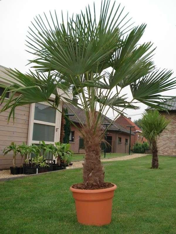 Trachycarpus-fortunei-3