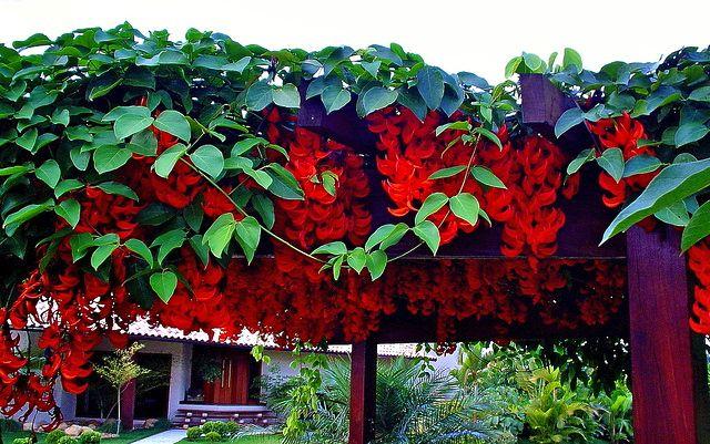 Trepadeira Jade vermelha – Mucuna bennettii