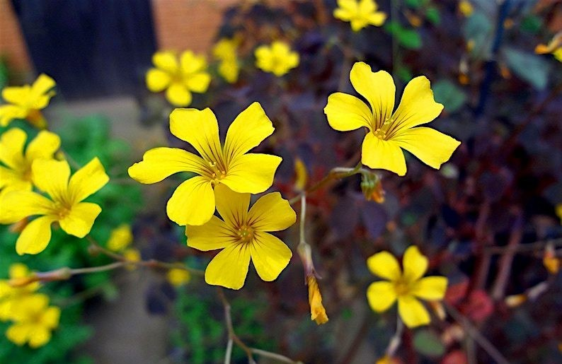 Trevo-amarelo