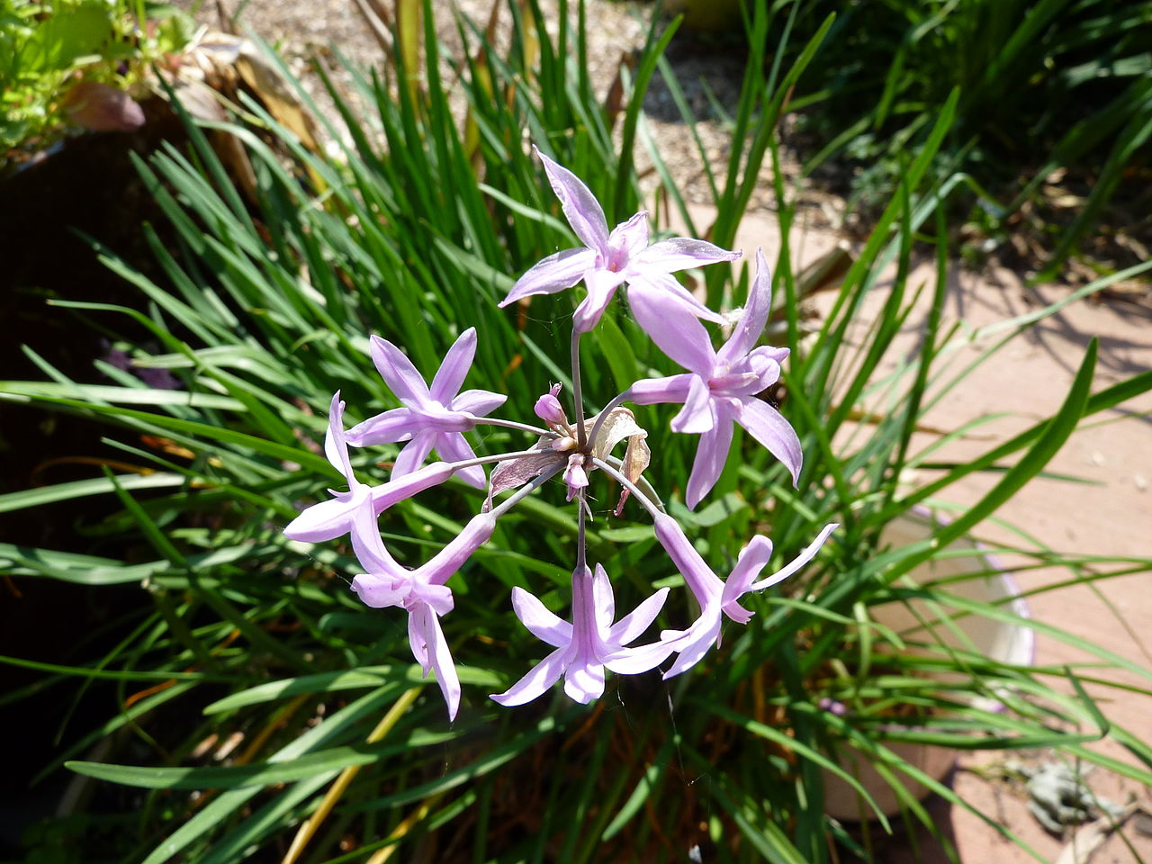 Tulbaghia_violacea_1
