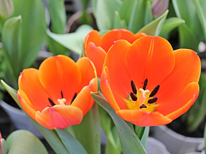 Tulipa-Flor
