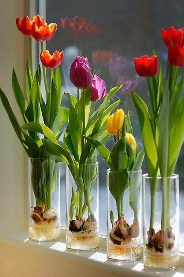 Tulipa-como-cuidar