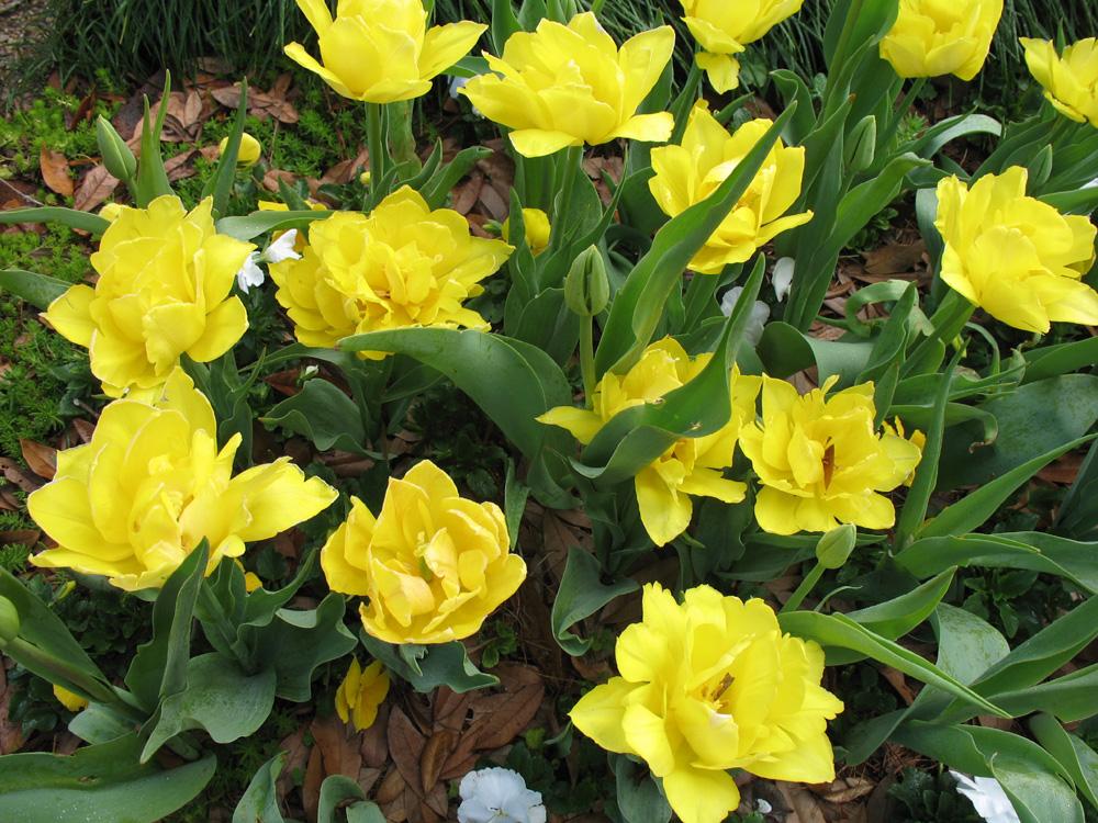 Tulipa gesneriana 1