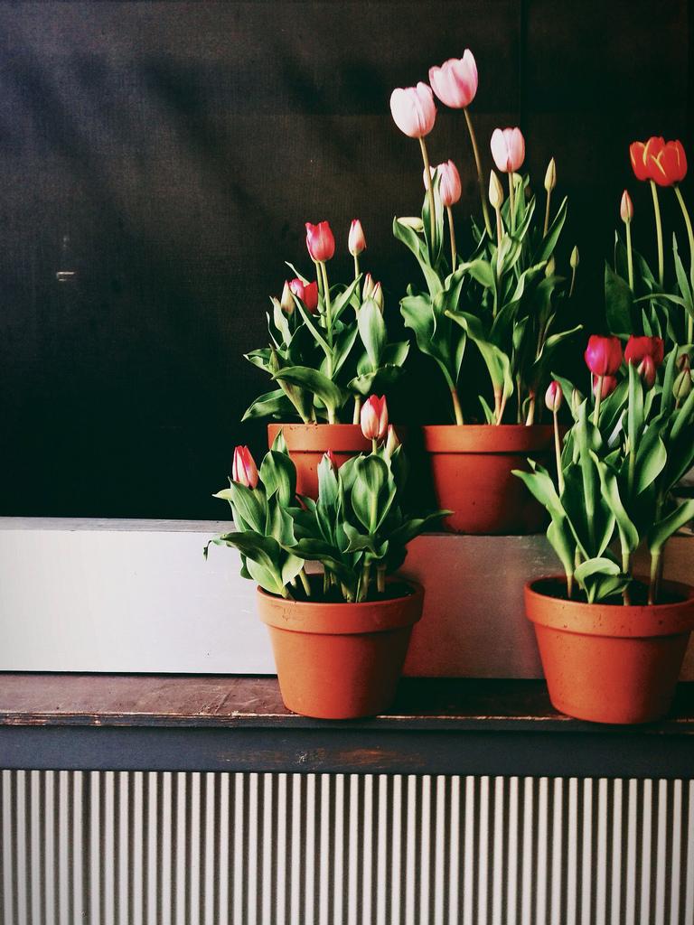 Tulipa1