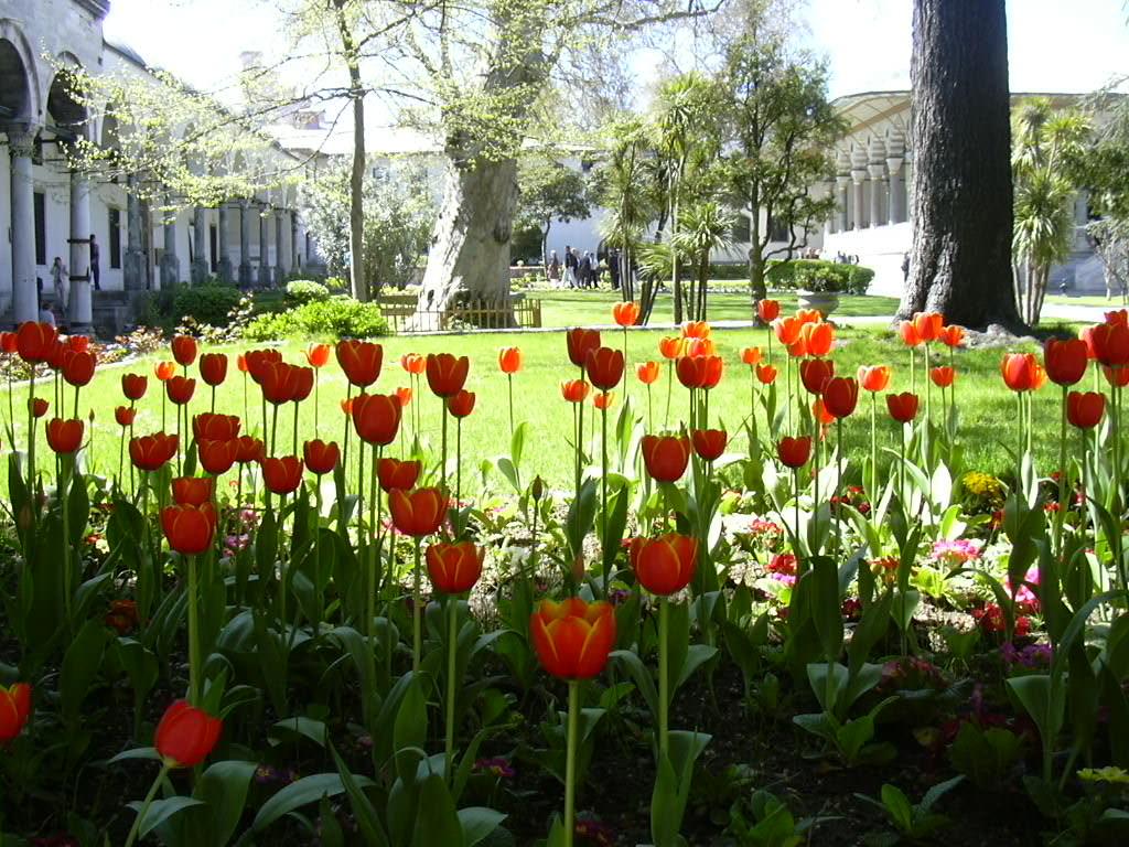 Tulips-Top