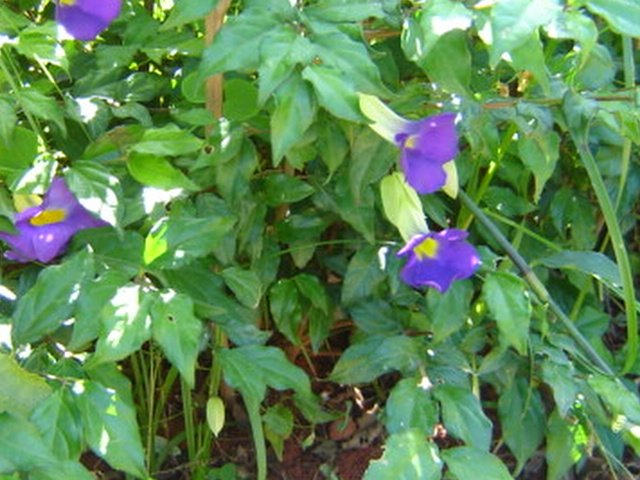 Tumbérgia-azul ( Thunbergia grandiflora)