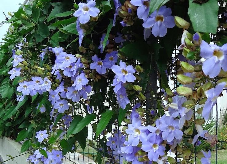 Tumbergia-azul