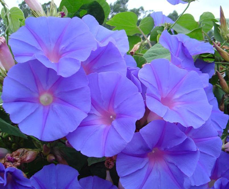 Tumbergia azul