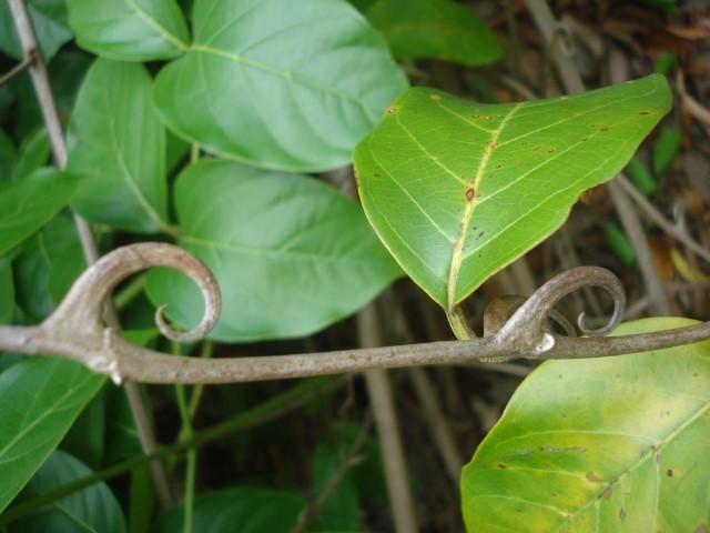Unha-de-gato (Uncaria tomentosa)