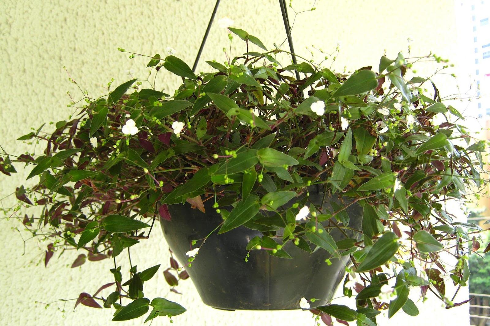 Véu-de-noiva (Gibasis pellucida)