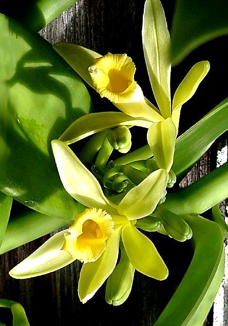 Vanilla_planifolia