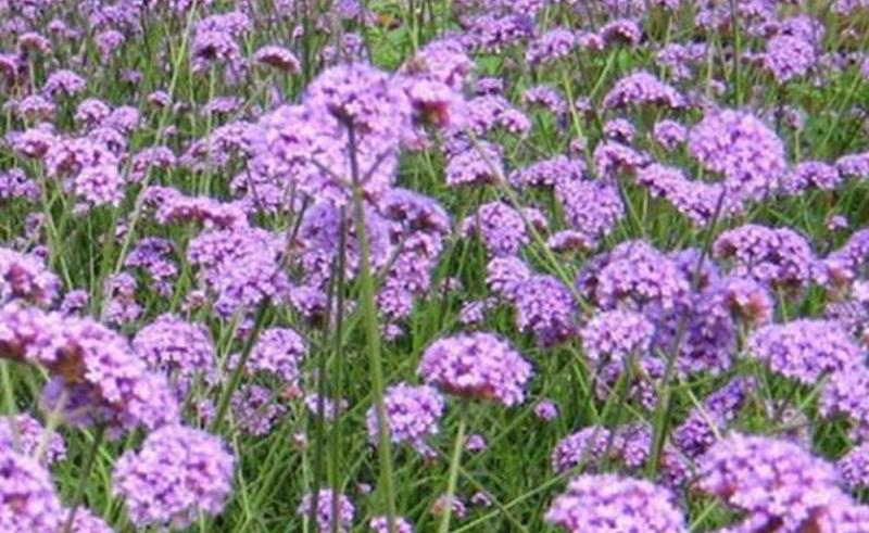 Verbena Officinalis L._11