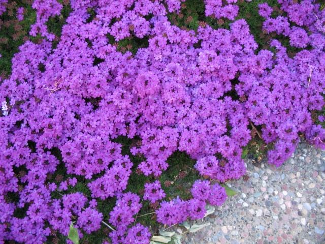 Verbena_Purple