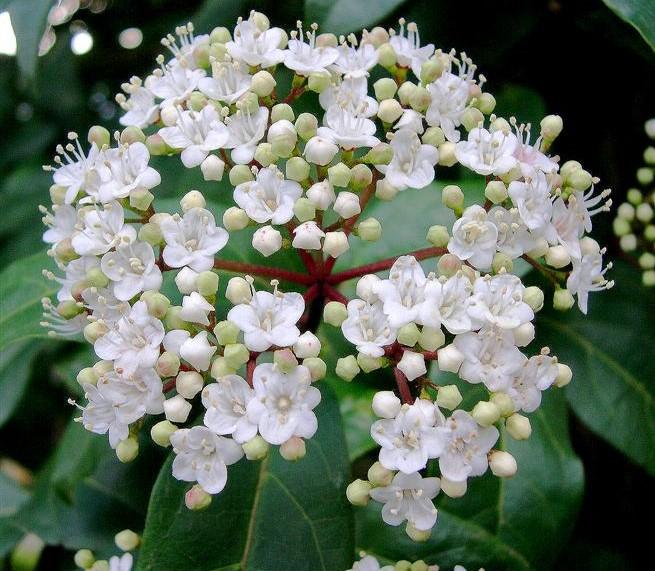 Viburnumtinus
