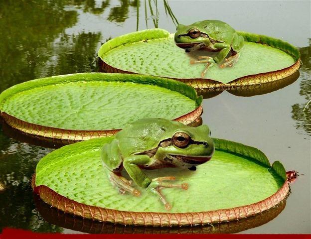 Victoria-Amazonica