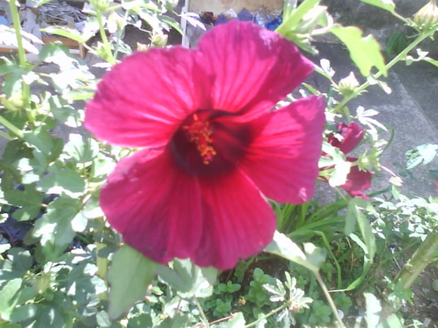 Vinagreira-Hibiscus-sabdariffa