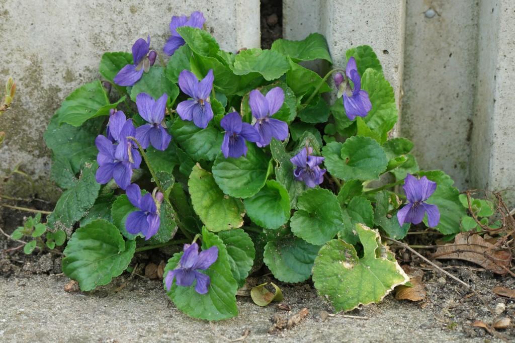 Viola-odorata-2